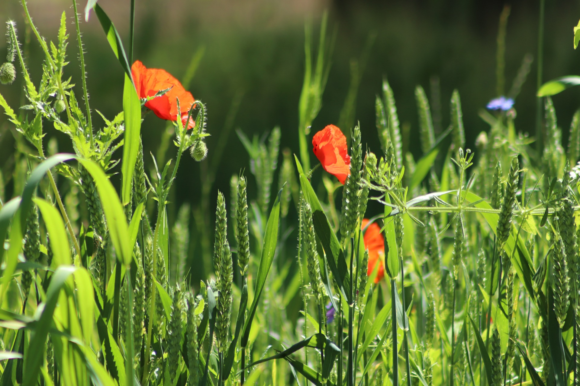 poppies-5286127_1920 (c) Pixabay.com